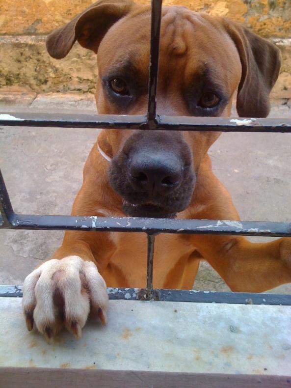 Biscoito! Boxer desaparecido do bairro Parquelândia
