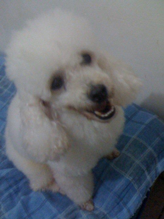 Poodle macho, encontrado no bairro Luciano Cavalcante - Fortaleza
