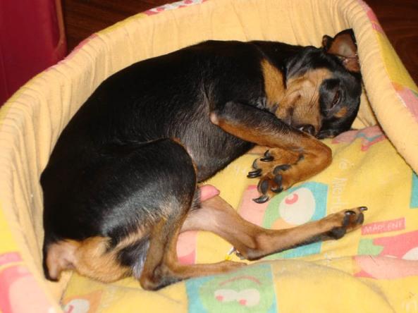 Zeca, pinscher desaparecido no bairro Água Fria
