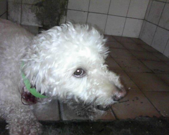 Cãozinho poodle encontrado na av. José Bastos