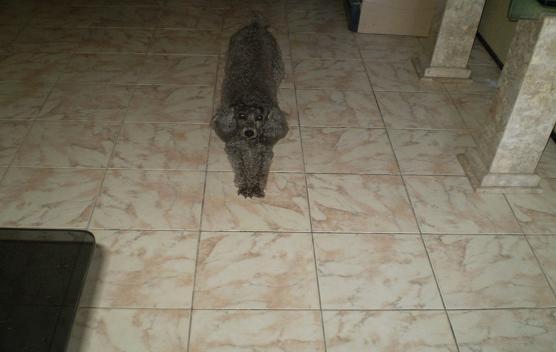 Drica - poodle desaparecida no bairro João XXIII