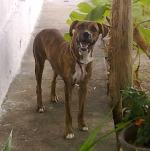 Madonna, cadelinha fila brasileiro desaparecida no bairro Monte Castelo