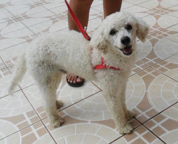 Cãozinho poodle encontrado no bairro Lagoa Redonda