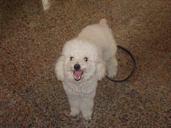 Luke - Cãozinho poodle desaparecido na praia de Iracema