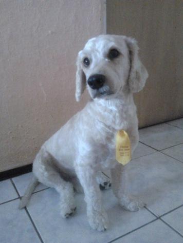Tobby - Cãozinho poodle desaparecido no bairro Novo Barroso