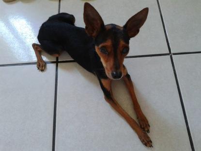 Cãozinho pincher encontrado no bairro Jardins das Oliveiras