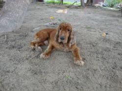 Cãozinho cocker encontrado na av. José Bastos